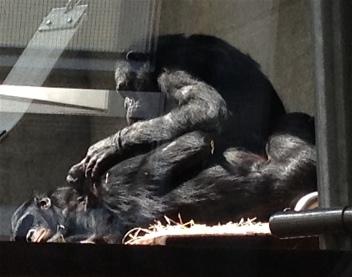 Bonobos Wilhelma 2015.JPG